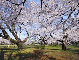 小金井公園の満開のソメイヨシノの古木の写真素材 [FYI04855422]