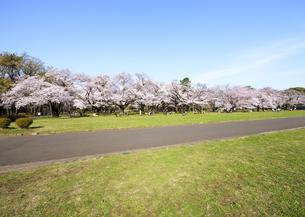 小金井公園の満開のソメイヨシノと遊歩道の写真素材 [FYI04855425]