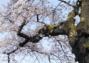 播磨坂さくら並木のソメイヨシノの古木の写真素材 [FYI04855428]