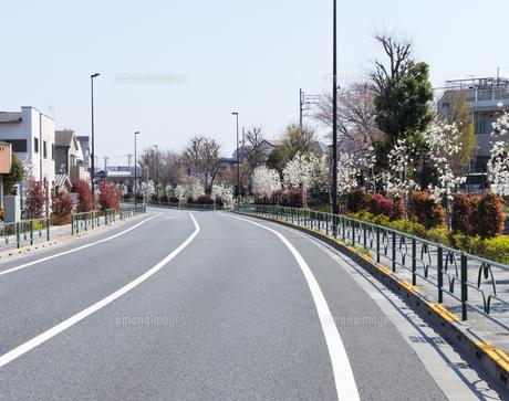 千川通りとハクモクレンの並木道の写真素材 [FYI04855433]