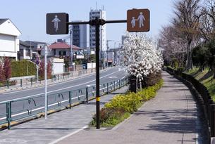 ハクモクレンの咲く千川通りの歩道の写真素材 [FYI04855434]
