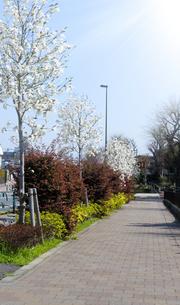 春の陽光とハクモクレンの咲く千川通りの歩道の写真素材 [FYI04855436]