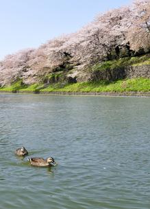 千鳥ヶ淵の桜とカルガモの写真素材 [FYI04855438]