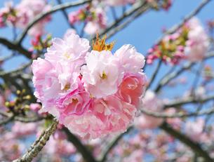 満開の八重桜の花の写真素材 [FYI04855440]