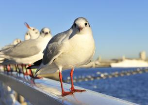 横浜港のユリカモメの写真素材 [FYI04855451]