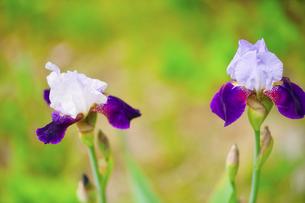 ジャーマンアイリス(虹の花)の写真素材 [FYI04855454]