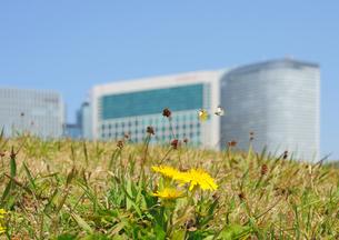 タンポポの花と蝶と高層ビルの写真素材 [FYI04855457]