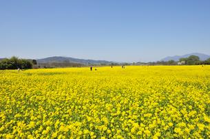 千曲川ふれあい公園の菜の花畑の写真素材 [FYI04855463]
