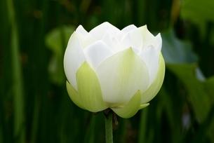 大賀ハスの花の写真素材 [FYI04855499]