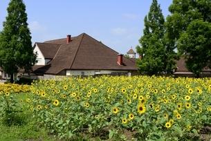 滋賀農業公園,ブルーメの丘,ヒマワリの花と体験工房の写真素材 [FYI04855516]