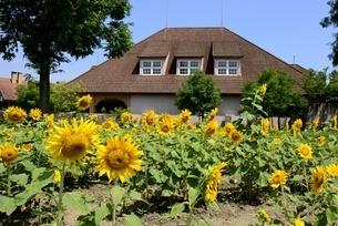滋賀農業公園,ブルーメの丘,ヒマワリの花と体験工房の写真素材 [FYI04855527]