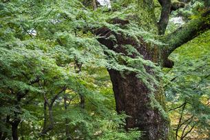 新緑の中の大樹の写真素材 [FYI04855532]