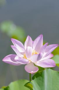 ハスの花の写真素材 [FYI04855558]