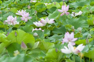 ハスの花畑の写真素材 [FYI04855574]
