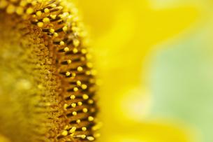 ヒマワリの花のアップの写真素材 [FYI04855636]