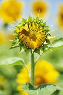 ヒマワリの花のつぼみの写真素材 [FYI04855638]