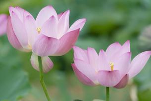 ハスの花の写真素材 [FYI04855678]