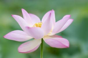 ハスの花の写真素材 [FYI04855682]