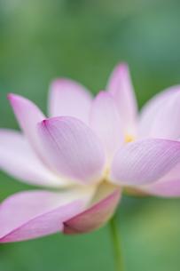 ハスの花の写真素材 [FYI04855683]