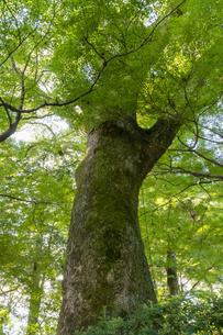 新緑の中の大樹の写真素材 [FYI04855698]
