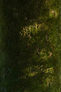 苔むす大樹の樹皮の写真素材 [FYI04855702]