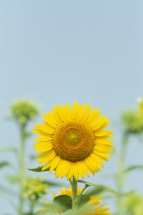 大輪のヒマワリの花の写真素材 [FYI04855706]