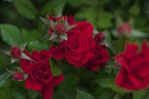 赤いバラの写真素材 [FYI04856049]