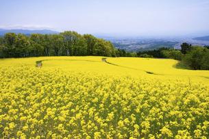 三ノ倉高原の菜の花畑の写真素材 [FYI04856195]