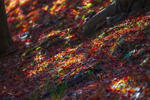 落葉と木洩れ日の写真素材 [FYI04856439]