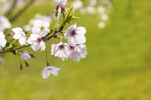 桜の花の写真素材 [FYI04856604]