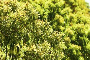 クスノキの若葉の写真素材 [FYI04856607]