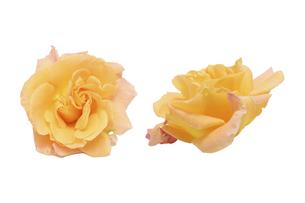 オレンジ色の薔薇の花首の写真素材 [FYI04856709]