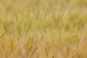 麦畑の写真素材 [FYI04856841]