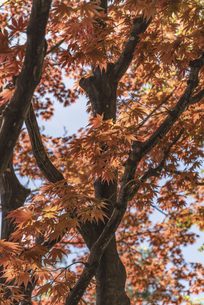 札幌・中島公園の春紅葉の写真素材 [FYI04856907]