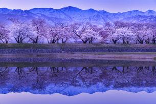 早朝の舟川べりの桜の写真素材 [FYI04857074]