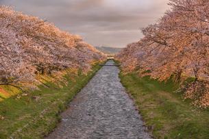 夕陽に染まる舟川ベリの桜並木の写真素材 [FYI04857092]
