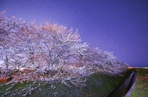 舟川ベリの桜並木と満点の星空の写真素材 [FYI04857095]
