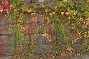 紅葉のツタ植物の写真素材 [FYI04857187]