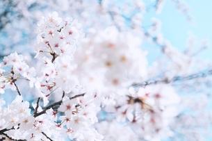 花冷えの桜花(染井吉野)の写真素材 [FYI04857397]