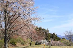 美の山公園と桜の写真素材 [FYI04857503]