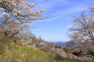 美の山公園と桜の写真素材 [FYI04857507]