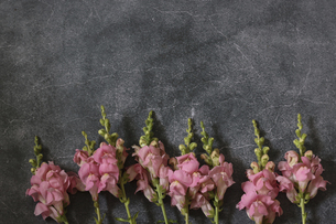コンクリート模様背景のピンクのストックの写真素材 [FYI04857535]