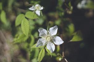 晴れの日、春の道ばたの野いちごの花の写真素材 [FYI04857541]