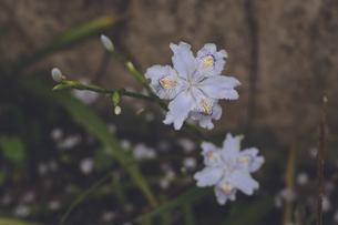 桜の花びらの舞い散る庭の青い花の写真素材 [FYI04857576]