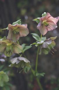 冬から春に咲く美しいクリスマスローズの花の写真素材 [FYI04857615]