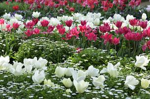 あけぼの山農業公園の園内に咲く白と赤のチューリップ(ユリ科チューリップ属)の花壇の写真素材 [FYI04858049]