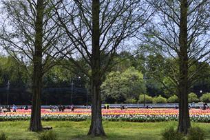 あけぼの山農業公園内にある木々と赤や黄色のチューリップ畑の園内を巡る人々の写真素材 [FYI04858079]