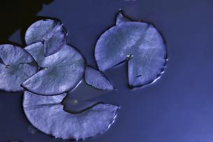 あけぼの山農業公園内の池の中に浮かぶスイレン(スイレン科スイレン属)の葉の写真素材 [FYI04858081]