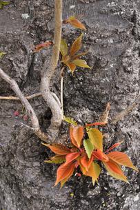 あけぼの山農業公園に咲く八重桜(バラ科サクラ亜科の落葉広葉樹)の木の幹に生え出た葉の写真素材 [FYI04858083]