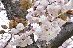 あけぼの山農業公園に咲く八重桜(バラ科サクラ亜科の落葉広葉樹)の花とつぼみと枝と幹と葉の写真素材 [FYI04858084]
